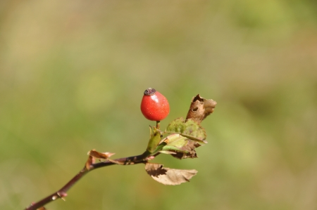Rosehip Twig with a Single Fruit  Rosa canina  Stock Photo - 15662118