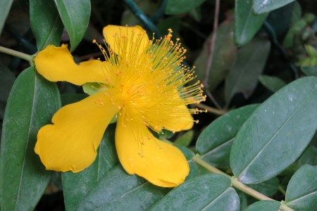 Great St-John s wort -  Hypericum calycinum  photo