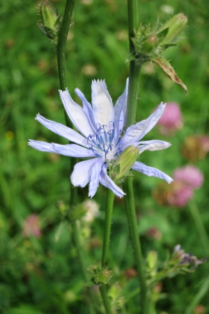 Common chicory - Cichorium intybus  - flower with flowerbuds photo