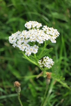 staunch: Common Yarrow -  Achillea Millefolium -  in bloom Stock Photo