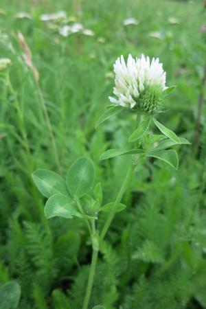 trifolium: Red Clover -  Trifolium Pratense   - white form