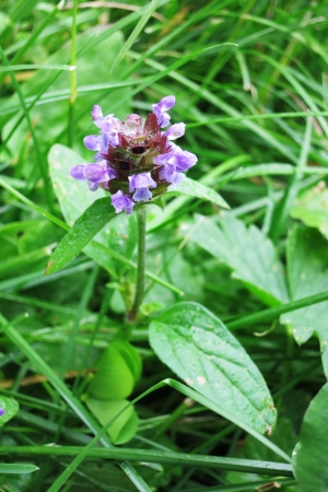 lance shaped: Prunella Vulgaris or Common Selfheal Stock Photo