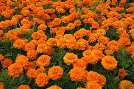 French marigold  Tagetes patula  photo