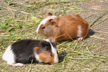 cavie: Due le cavie (Cavia porcellus)
