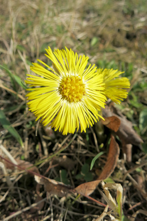 Coltsfoot ( Tussilago farfara) in the grass photo