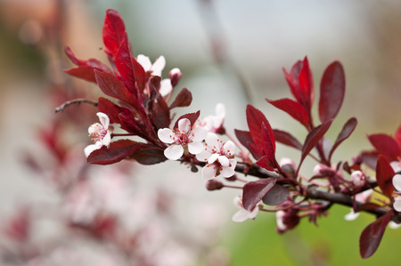 prunus cerasifera: Cherry Plum or Myrobalan Plum (Prunus cerasifera) twig in bloom. Stock Photo