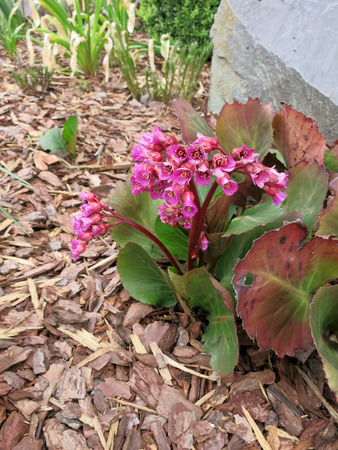Elephant-eared saxifrage or elephants ears (Bergenia sp.) in the  flowerbed. photo