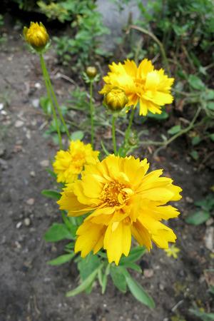 tickseed: Large-flowered tickseed (Coreopsis grandiflora) inflorescence