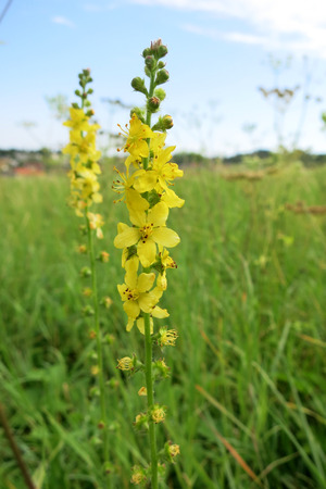 Common agrimony (Agrimonia eupatoria)
