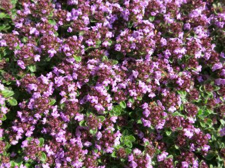 thymus: Common thyme (Thymus vulgaris) flowerbed