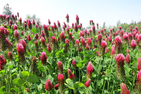 trifolium: Crimson clover (Trifolium incarnatum) field