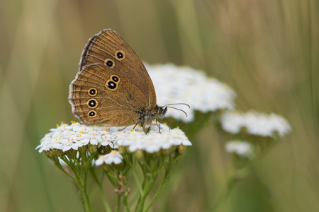 aphantopus: Ringlet butterfly sitting on a common yarrow