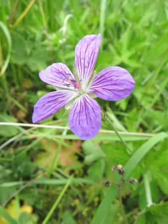 palustre: Marsh Crane´s bill ( Geranium palustre)