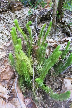 bristly: Bristly club-moss or Stiff clubmoss (Lycopodium annotinum) Stock Photo