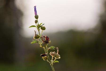 firebug: Firebug (Pyrrhocoris apterus) sitting on a plant Stock Photo