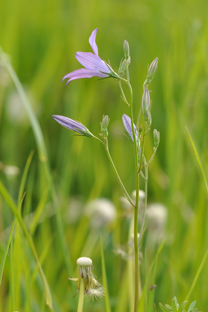 patula: Spreading bellflower (Campanula patula) in the meadow