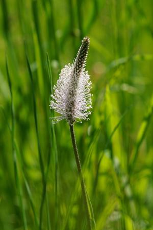 hoary: Hoary Plantain (Plantago media) in the meadow