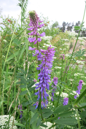 tufted: Tufted vetch or Bird vetch (Vicia cracca) in the meadow