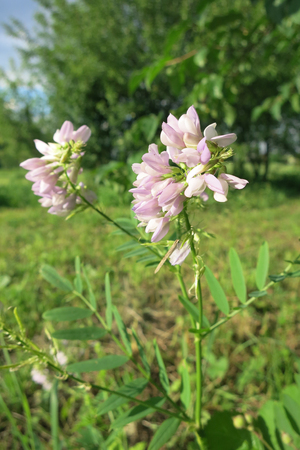 faboideae: Galega or goats-rue (Galega officinalis) in the meadow