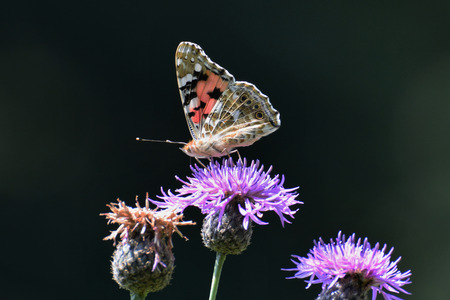 Painted lady (Vanessa cardui) butterfly sitting on creeping thistle (Cirsium arvense) Stock Photo