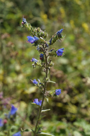echium: Vipers bugloss or Blueweed (Echium vulgare) in the meadow Stock Photo
