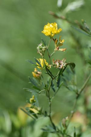 sickle: Yellow lucerne, sickle alfalfa or sickle medick (Medicago falcata) in the meadow