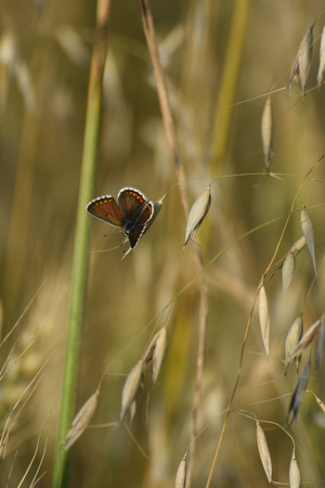 lycaenidae: Brown argus (Aricia agestis) resting on an oat plant Stock Photo