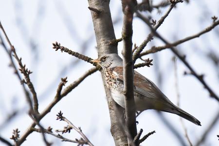 Fieldfare (Turdus pilaris) sitting on a branch