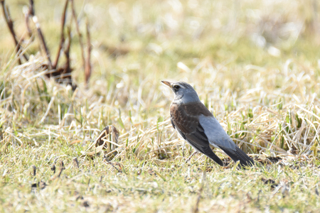 Fieldfare (Turdus pilaris) standing in the grass