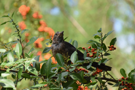 Common blackbird (Turdus merula) - juvenile bird sitting on a rowan tree branch