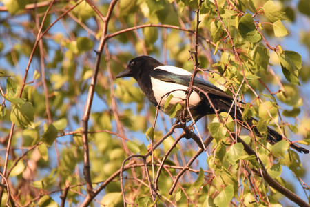 Common magpie (Pica pica) sitting on a branch
