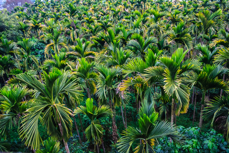 Taiwan betel nut trees Stock Photo