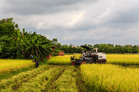 guangdong: Guangdong Kaiping rice harvest