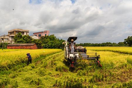 guangdong: Guangdong Kaiping rice harvest
