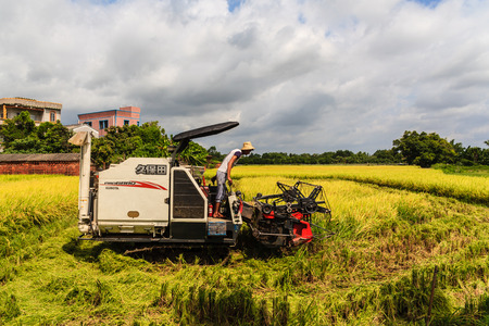 rice harvest: Guangdong Kaiping rice harvest