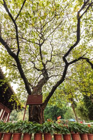 Guangzhou: tree at ancient temple, Guangzhou