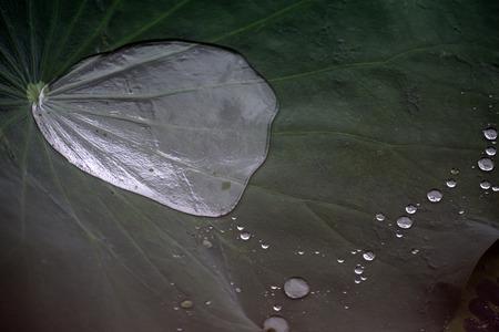蓮の葉 写真素材