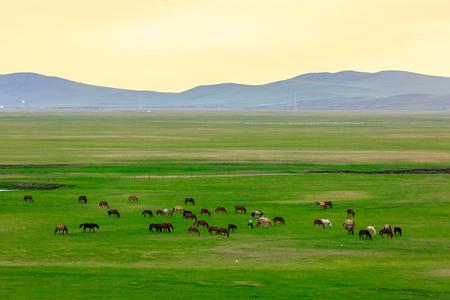 内モンゴルのフルンベエ馬