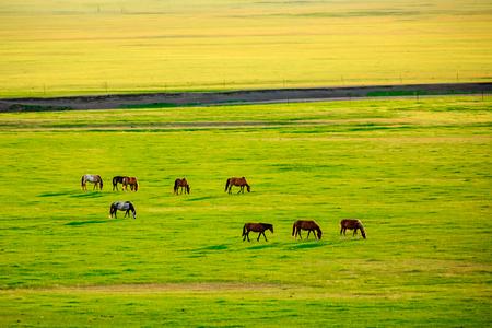 内モンゴル・フルンビエの馬