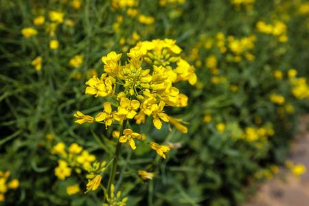 canola flowers Stok Fotoğraf