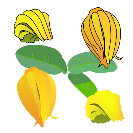 zest: the sacred Buddhas hand fruit. Cartoon illustration.