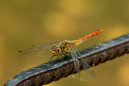 forewing: Dragonfly