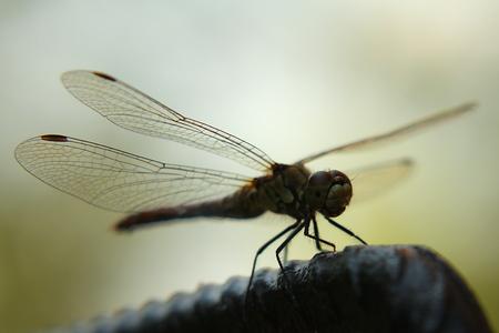 hindwing: Dragonfly