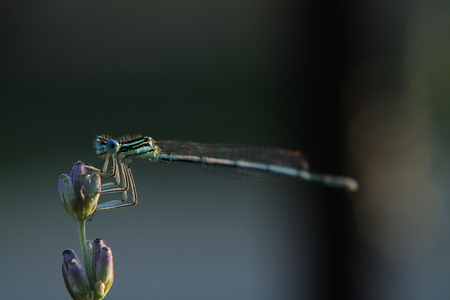 forewing: Damselfly