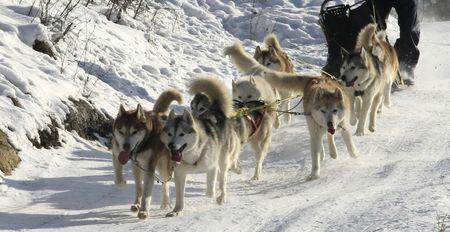 Dog-sledding with Huskies Stock Photo - 4132217