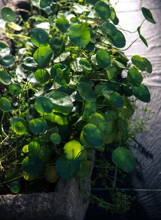 desmodium plant