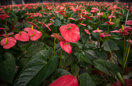 Anthurium flowers close up view Stock Photo