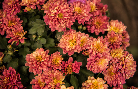 In autumn, the chrysanthemum blooming