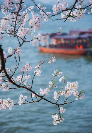 In spring, the cherry blossoms on the shore of the lake bloom. Фото со стока