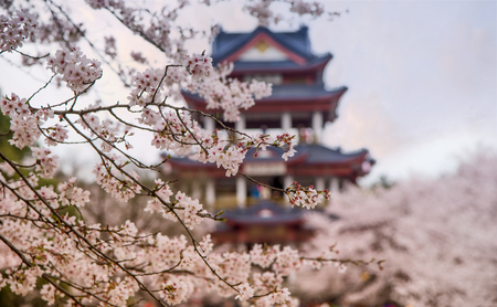 In the spring, the cherry blossoms in the park are in full bloom. Фото со стока